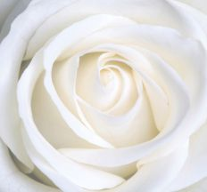 1383 New White Rose